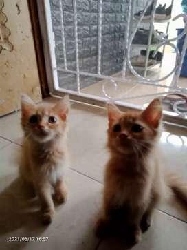Sepasang Kitten Anggora