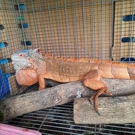 Super Red Iguana