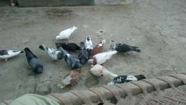 Breeder pairs and young pigeons5.