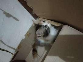 Bulu kapas Kitten calico persia betina masih mau 2 bulan masih imut