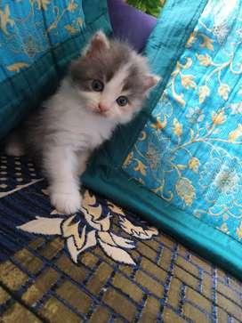 Persian semi punch face cat and kitten negotiable