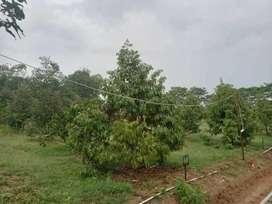 Dijual Kavling Produktif Kebun Durian Bawor di Medalsari Garden