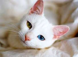 Russian White Cat With Odd Eyes.