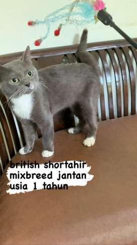 bsh mixbreed jantan