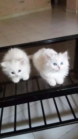 All types kittens ND cats available
