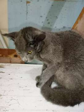 Jual kucing abu-abu mirip british short hair