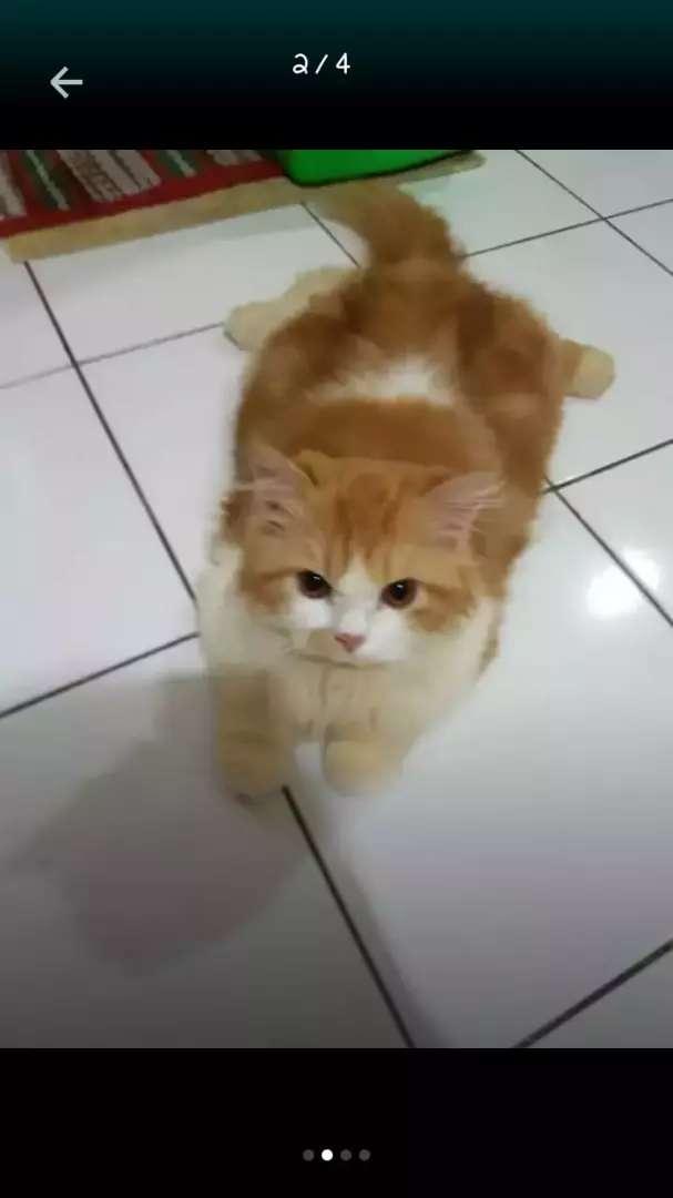 Dicari majikan baru kucing persia 0