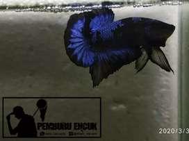 cupang Blue Black Light - BBL 001
