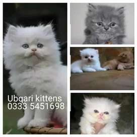 Õrignal PeRsian Adorable kittens