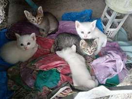 persian kittens 1 month old