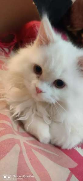 Persian Cat male 12000 only