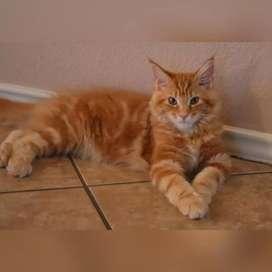 Kucing MAINECOON Betina