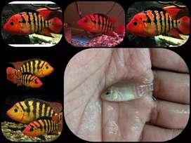 Ikan american festae untuk aquarium