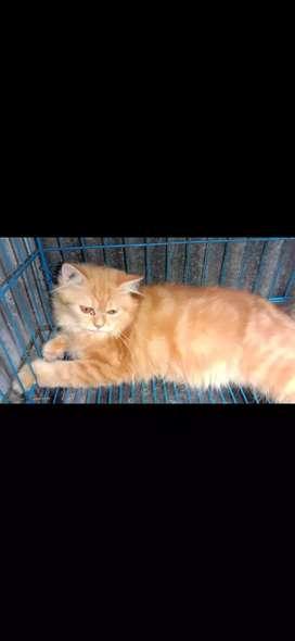 Lepas adopt kucing persia jantan