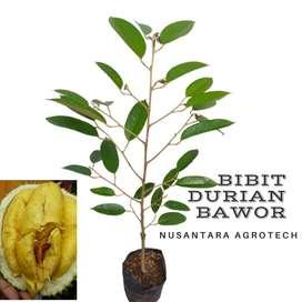 Bibit Durian Bawor Murah