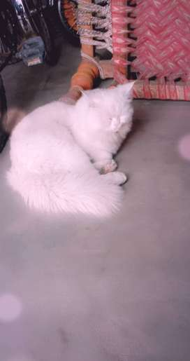 Persian male double coated