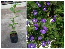 Amazon snap dragon/ Blue mary plant