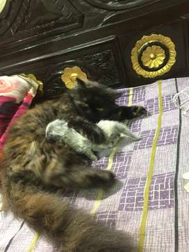 persian cat with kitten Available
