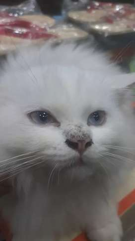 Blue eyes male Persia cat