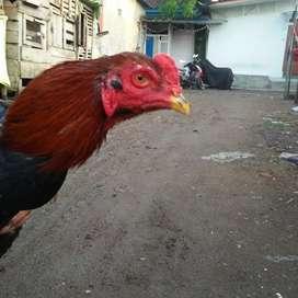 Ayam bangkok berkualitas