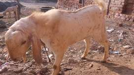 Got. bakra for sale