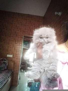 Grey home raised Persian kitten female