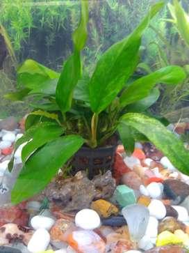 Anubias minima variegated(aquarium plant)