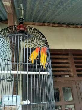 Love bird mata merah