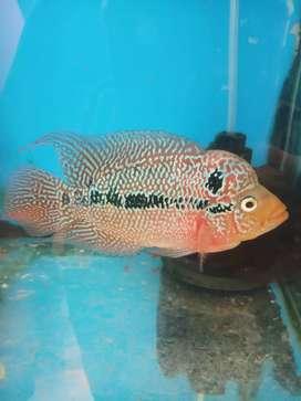 Jual ikan lohan kamfa f3 thailand