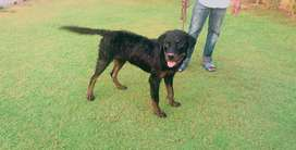 rottweiler exchange possible with russian female
