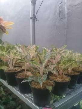 Jual tanaman hias aglonema