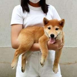 Anak Anjing Shiba Inu jantan dan betina stb vaksin sangat langka