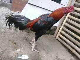 Ayam bangkok muda berbakat pola tehnik