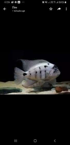 Fish - Argentea for sell