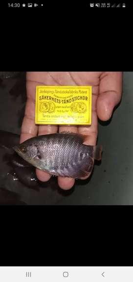 Bibit Ikan Gurame Soang ukuran korek
