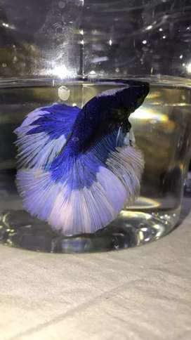 ohm betta 4 sale 150/-