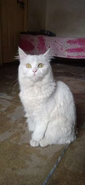 Persian doll face cute cat