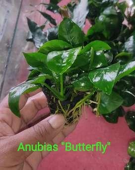 Anubias aquarium Plant