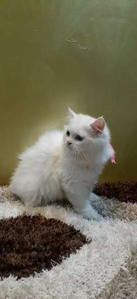 Cute and healthy persian Kittens available.