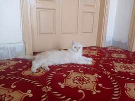 Triple coat  Persian cat