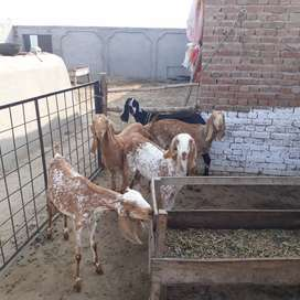 5 young goats and 5 baby goats for sale.