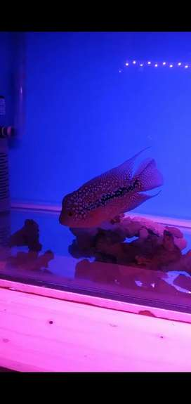 Ikan louhan kamfa F2 thailand