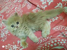 Friendly Persian kittens in all colours