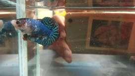 Ikan betina besgel