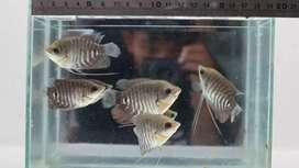 Sedia benih ikan air tawar #K