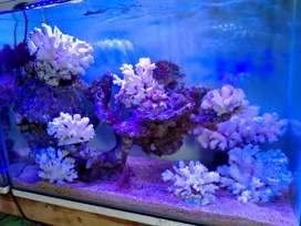 Akuarium Air laut 60x30x40