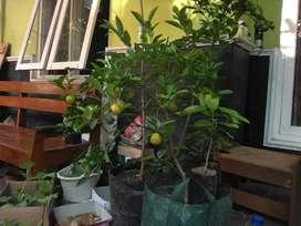Pohon jeruk lemon cui/ jeruk kasturi sudah berbuah di planterbag