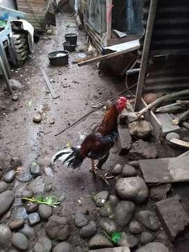 Ayam bangkok jantan