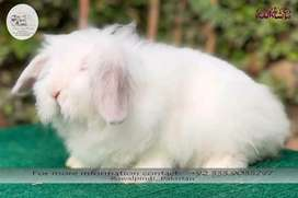 White Fuzzy Lop Rabbit Male 4 months old!