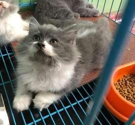 Kucing Persia 2,5 Bulan